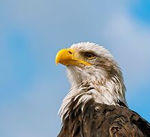 Bald Eagle by Vac1