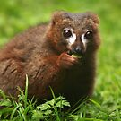 Red Bellied Lemur by Daniela Pintimalli