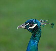 Peacock head shot by Sue Robinson