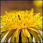 Macro of a dandelion by marina63