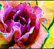 Pink Cabbage by marina63