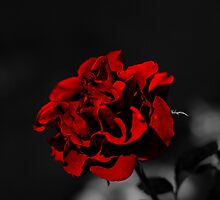 Selective Colouring - Red Rose by Pieter Bruwer