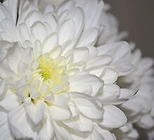 Chrysanthemum by bobbykim666