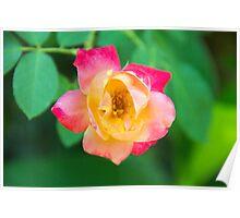 Tri-Color Rose Poster