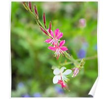 Pink and White Fuchsia Flowers Poster