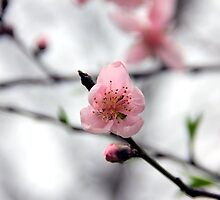 Light Pink Peach Blossom by BlackTopaz