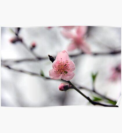 Light Pink Peach Blossom Poster