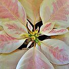 Pale Poinsettia by Monnie Ryan