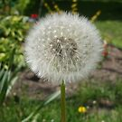 Dandelion by Marilyn Bell