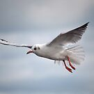 Black-headed Gull in flight by Margaret S Sweeny