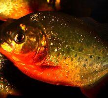 piranha by Steve