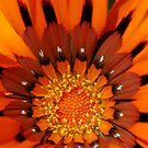 Orange Gazania by Eve Parry