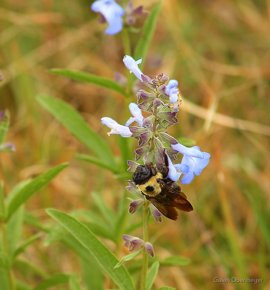 Bumble Bee on the Prairie Flower by Galen Obermeyer