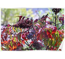 Colorful Fall Sumac Poster