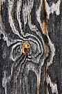 Wood knot .3 by Alex Preiss