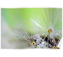 Dandelion Raindrops Poster