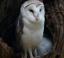 Barn Owl Guarding The Nest by GP1746