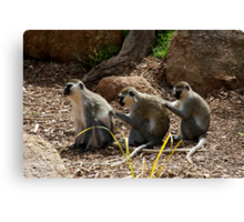Vervet Monkeys - You Scratch My Back... Canvas Print