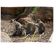 Vervet Monkeys - You Scratch My Back... Poster
