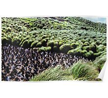 Royal Penguin Colony on Macquarie Island Poster