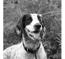 Dog portrait, spaniel in bracken Photographic Print
