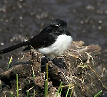 Mr Wagtail by byronbackyard