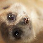 meerkat  by Matt Hill