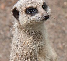 Meercat by Togfather