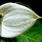 White Anthurium by Rosemary Sobiera