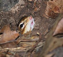 Chippie - emerging from burrow... by Laurie Minor