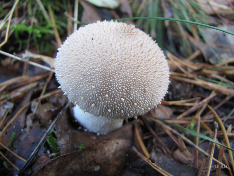 Puffball by orko