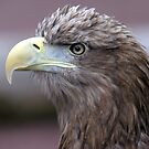 White tailed Sea Eagle by Margaret S Sweeny