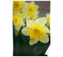 Daffodils at Noon Poster