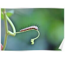 Zebra Longwing Caterpillar Poster