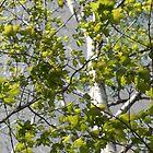 Birch Tree by sarataylor