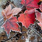 Autumn Frost by scullyb