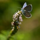 Blue butterfly by César Torres
