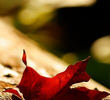 Automn leaf by Manon Boily