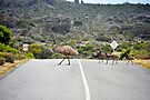 Crossing the road safely - Emu with chicks by Ian Berry