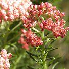 Pink Rice Flower by seeya