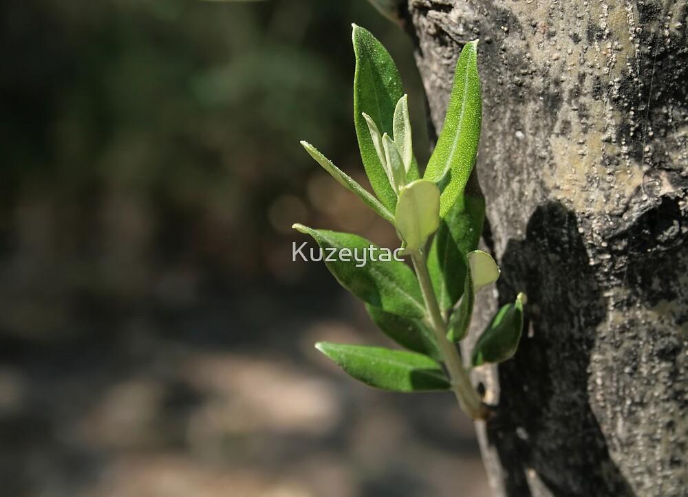 Mediterranean Olive Tree  by Kuzeytac