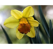 First Spring Daffodil - Bridgton,  Maine Photographic Print