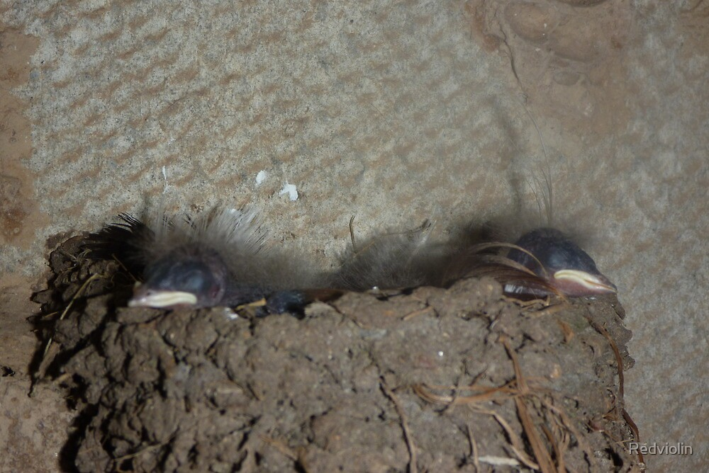 Swallow Chicks hatched by Redviolin