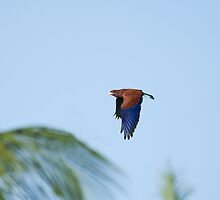 Broad-billed Roller and Palms by Sue Robinson