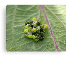 Common Green Shield Bugs hatching Canvas Print