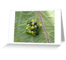 Common Green Shield Bugs hatching Greeting Card