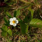 Wild Strawberry by Sue Robinson