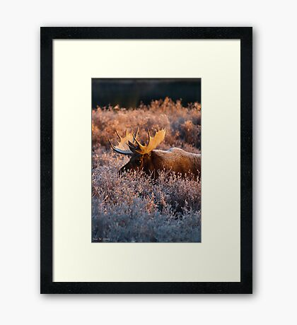 Moose Glow Framed Print