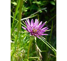 Purple Salsify Photographic Print