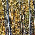 Fall Birch by Aaron Bottjen